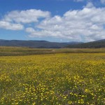 Eucumbene Valley flowers